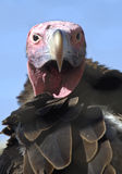 Lappet faced vulture Royalty Free Stock Photos