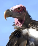 Lappet faced vulture. Portrait of a lappet faced vulture (trogos tracheliotus). Africa's largest vulture Royalty Free Stock Photography