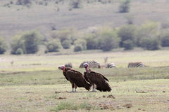 Lappet-faced Vulture - Aegypius tracheliotus Royalty Free Stock Photography