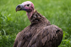 Lappet-faced Vulture from Africa Royalty Free Stock Images