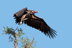 Lappet-faced vulture in flight Royalty Free Stock Photo
