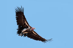 Lappet-faced vulture in flight Stock Photos
