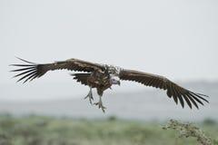 Lappet-faced Vulture Flyihg Stock Image