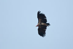 Vulture flying Stock Images