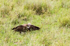 Lappet-faced vulture in the grass. Lappet-faced vulture or Nubian vulture Torgos tracheliotos, Old World vulture belonging to the bird order Accipitriformes royalty free stock image