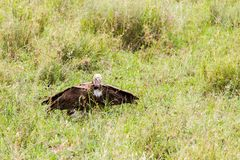 Lappet-faced vulture in the grass. Lappet-faced vulture or Nubian vulture Torgos tracheliotos, Old World vulture belonging to the bird order Accipitriformes royalty free stock photo