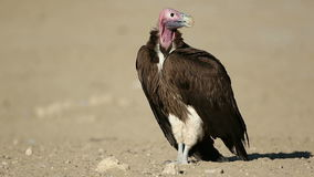 Lappet-faced vulture on the ground stock footage