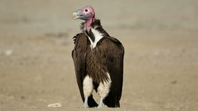 Lappet-faced vulture on the ground