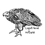 Lappet-faced vulture -  illustration sketch hand drawn wit. H black lines, isolated on white background Stock Photography