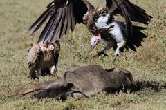 Lappet faced Vulture jump on wildebeest carcass stock photography
