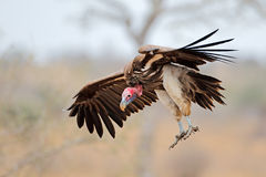 Lappet-faced vulture landing Royalty Free Stock Photo