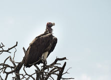 Lappet Faced Vulture. Large Lappet Faced Vulture perched in a tree surveying the surrounding territory Stock Photos