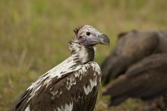 Lappet-faced Vulture Royalty Free Stock Photos