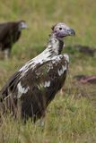 Lappet-faced Vulture Royalty Free Stock Images