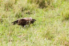 Nubian vulture in Serengeti National Park, Tanzania. Lappet-faced vulture or Nubian vulture Torgos tracheliotos, Old World vulture belonging to the bird order royalty free stock photo