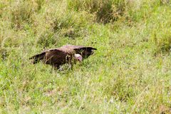 Nubian vulture in Serengeti National Park, Tanzania. Lappet-faced vulture or Nubian vulture Torgos tracheliotos, Old World vulture belonging to the bird order royalty free stock photography