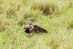 Lappet-faced vulture in Serengeti National Park, Tanzania. Lappet-faced vulture or Nubian vulture Torgos tracheliotos, Old World vulture belonging to the bird stock photography
