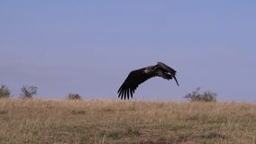 Lappet-faced vulture or Nubian vulture, torgos tracheliotus , adult in flight, Masai Mara Park in Kenya,. Slow motion stock video footage