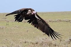 Lappet faced vulture preparing to land stock photo