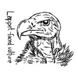 Lappet-faced vulture`s head - vector illustration sketch hand dr. Awn with black lines, isolated on white background Royalty Free Stock Photos