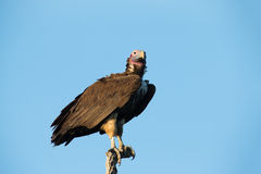 Lappet faced vulture sitting on branch in the morning sun waitin Royalty Free Stock Photos