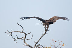 Lappet-faced Vulture Stock Image