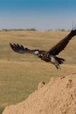 Lappet Faced Vulture takes off. Lappet Faced Vulture in flight in Kenya's  Masai Mara Stock Image
