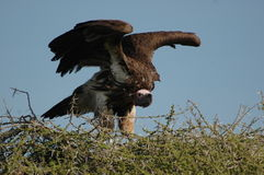 Lappet Faced Vulture Taking Off Royalty Free Stock Photos