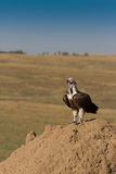 Lappet Faced Vulture on termite hill. Royalty Free Stock Photos