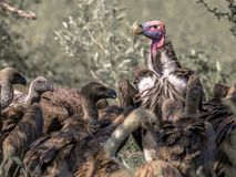 Lappet-faced vulture (Torgos tracheliotus) with pink head dominating White-backed vultures (Gyps africanus) at carcass in Kruger. National park South Africa stock image