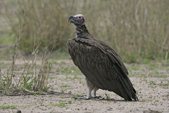 Lappet-faced vulture, Torgos tracheliotus Stock Images