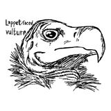 Lappet-faced vulture - vector illustration sketch hand drawn wit. H black lines, isolated on white background Royalty Free Stock Photo