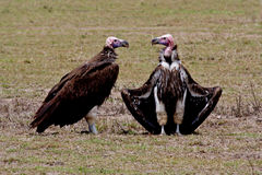 Lappet-faced vultures sunbathing after meal Stock Photos