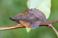Moth sitting on twig in meadow. Lappet Gastropacha quercifolia sitting on a twig in meadow. Close up. Looks like a old leaf Stock Photo