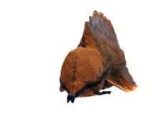 Lappet moth Stock Photo