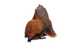 Lappet moth. (Gastropacha quercifolia) male stock photo