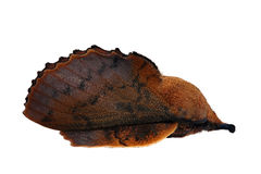 Lappet moth. (Gastropacha quercifolia) male royalty free stock image