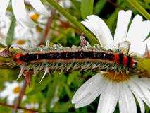 Lappet moth caterpillar 3 Stock Images