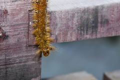 Lappet Moth Caterpillar, Closeup Stock Images
