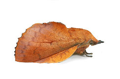 Lappet moth (Gastropacha quercifolia) Royalty Free Stock Image