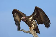 Lappetfaced Vulture. Torgos Tracheliotus; South Africa Royalty Free Stock Image