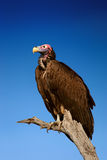 Lappetfaced Vulture against blue sky Stock Photography