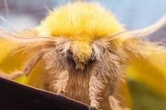 Lappetmal, kvinnlig (den Trabala viridanaen, lasiocampidaen) Royaltyfri Bild