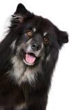 Lapphund finlandês Imagem de Stock