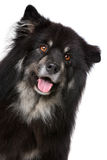 Lapphund finlandese Immagine Stock