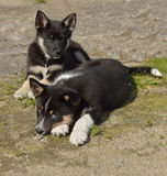 Lapponian Herder. Merry puppies Stock Images