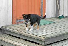 Lapponian Herder. Merry puppy on porch Royalty Free Stock Images