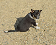 Lapponian Herder Vrolijk puppy Royalty-vrije Stock Foto