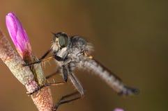 lapria убийцы мухы flava Стоковое Фото
