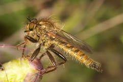 lapria убийцы мухы flava Стоковая Фотография